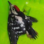 Torna a volare in libertà il piccolo picchio ferito trovato dal Sindaco di Scurcola