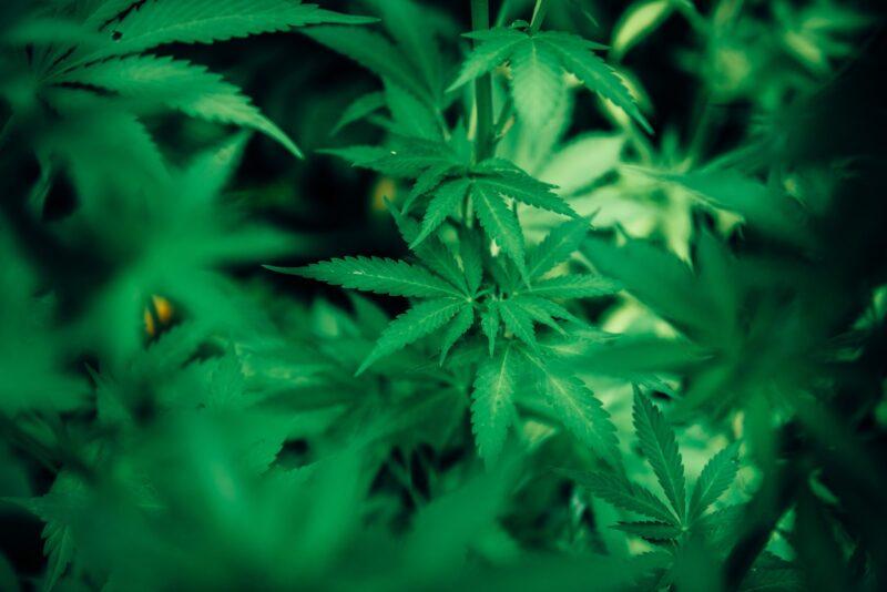 I luoghi comuni sulla cannabis legale