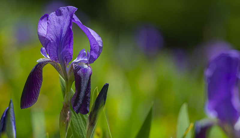 Iris Marsica o Giaggiolo della Marsica, il fiore marsicano che rischia l'estinzione