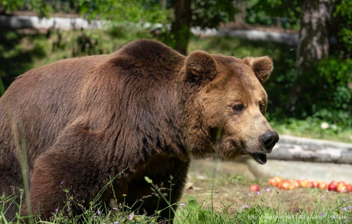 Brumo, Nita e Greta, il video dei tre orsi liberati dallo sfruttamento e giunti a Pescasseroli