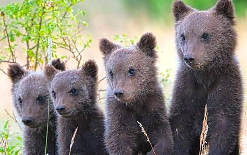 Poker di orsi, i quattro cuccioli del Parco Nazionale d'Abruzzo
