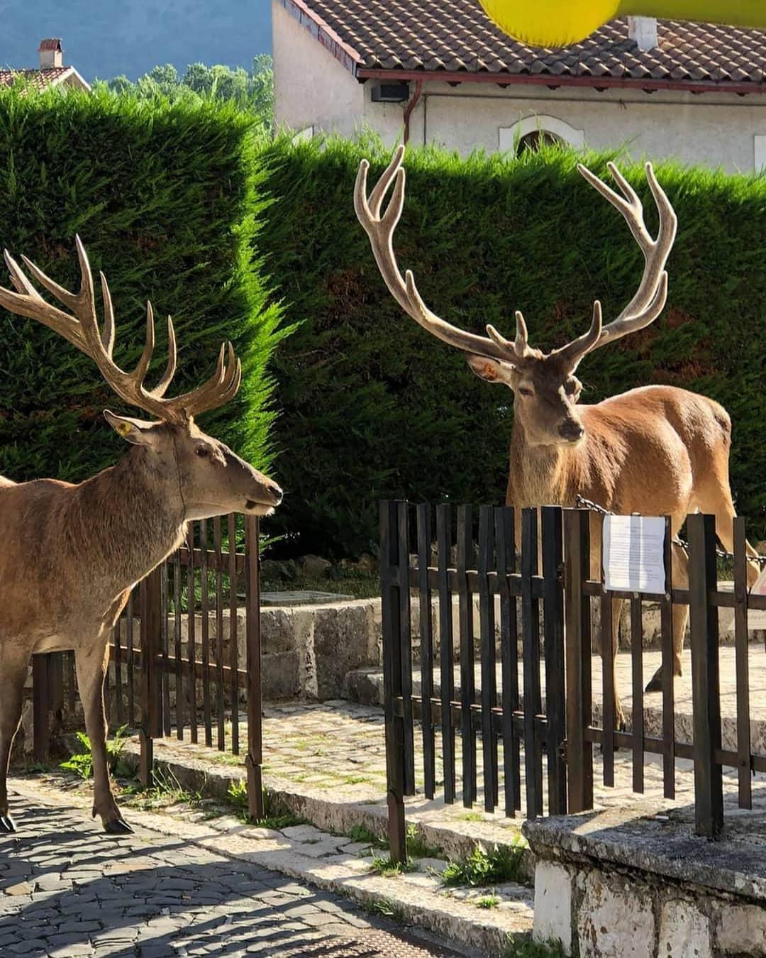 Due cervi in fila alla Posta nel Parco Nazionale d'Abruzzo