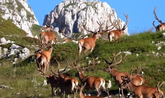 La grandiosa migrazione dei cervi verso le praterie di montagna