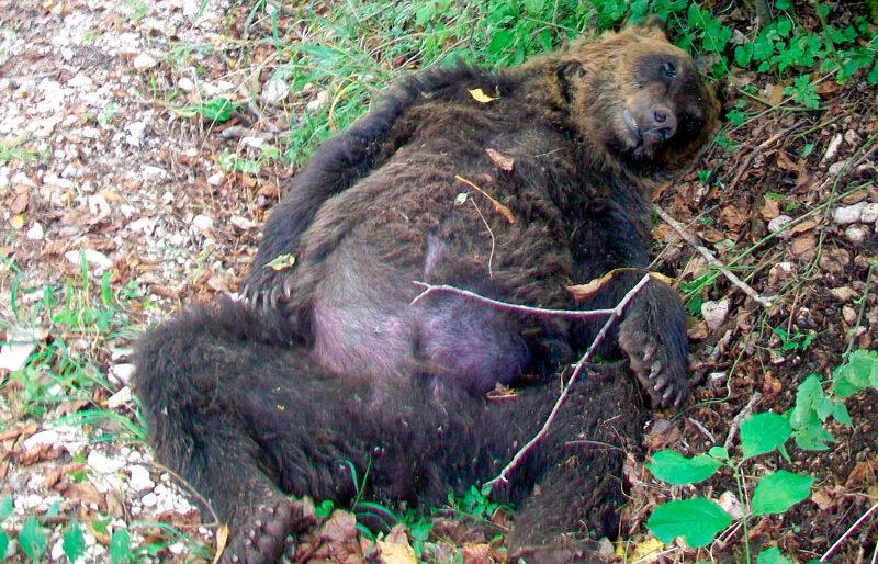 Condannato l'imputato che aveva ucciso l'orso marsicano a Pettorano sul Gizio nel 2014