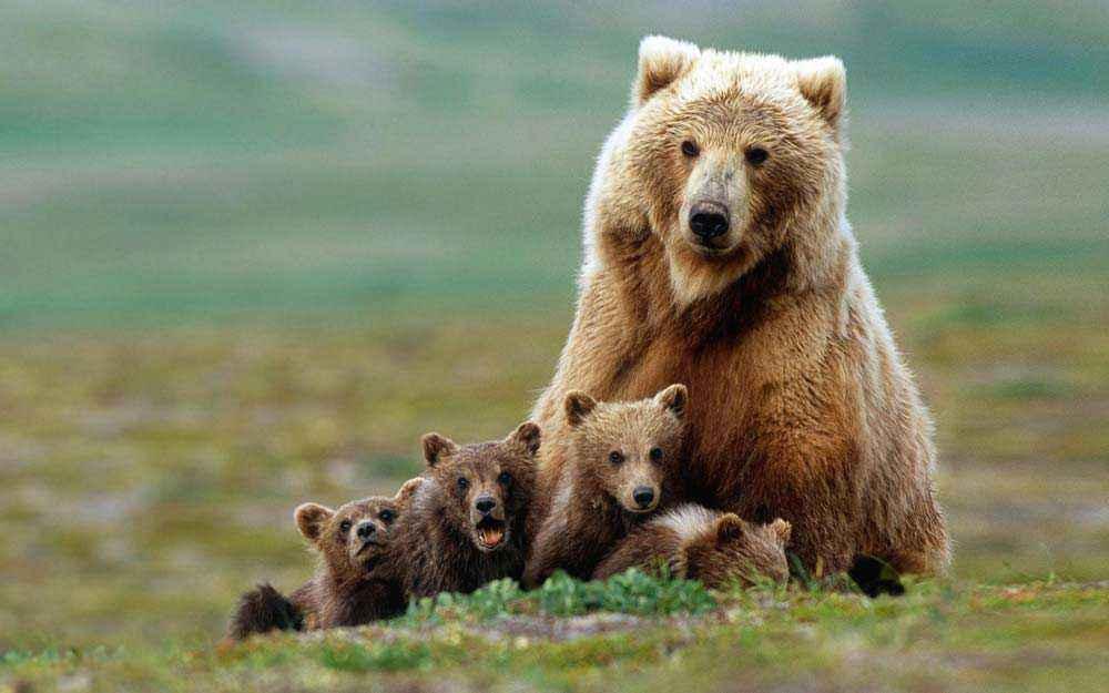 Mamma orsa e i suoi cuccioli entrano in giardino per rubare le ciliegie