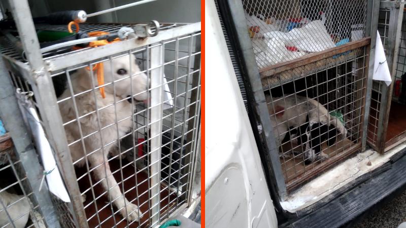 Servizio veterinario ASL, catturati a Balsorano altri 2 cani con la telenarcosi