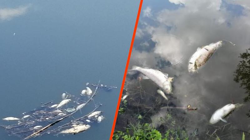 Ancora pesci morti nel Liri. Nel video le immagini della fauna ittica falcidiata dall'inquinamento