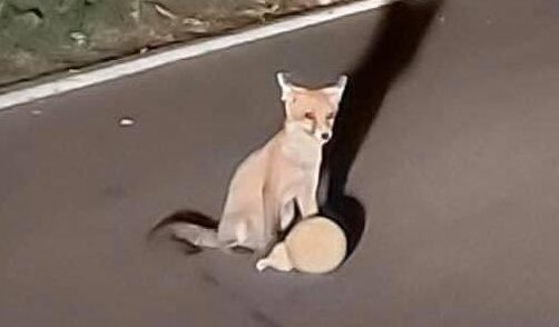 La volpe e il caciocavallo rubato