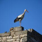 Fauna, forte migrazione in abruzzo ieri 17 rare cicogne nere