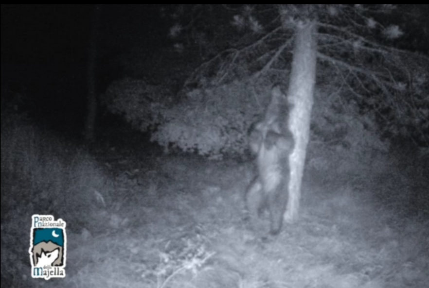 Parco Majella, orso si gratta beatamente su grosso albero (VIDEO)