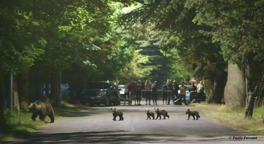 """Appello del PNALM, """"Proteggiamo l'orso bruno marsicano!"""""""