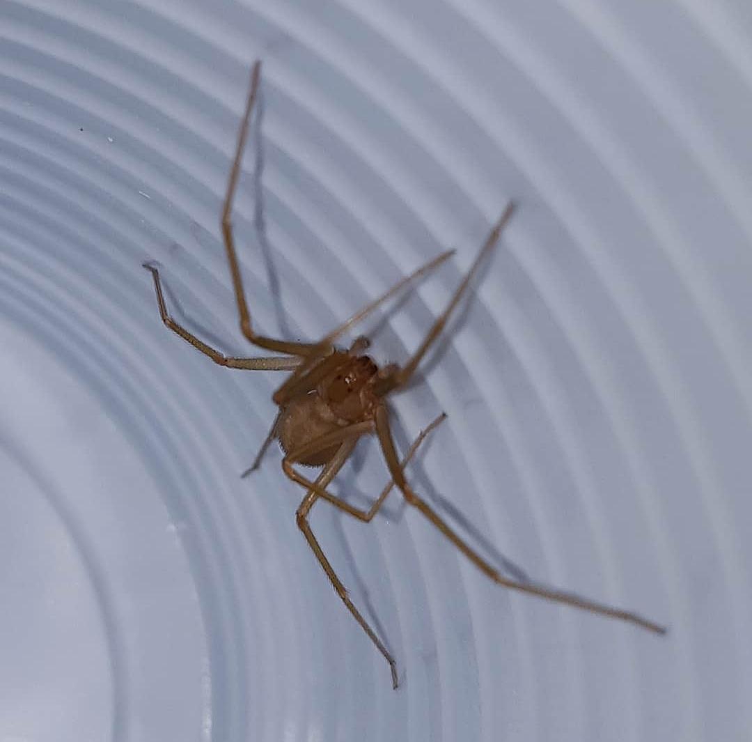 Due avvistamenti di ragno violino ad Avezzano centro, il suo veleno scioglie i tessuti