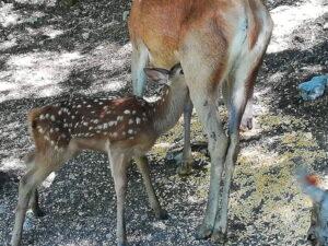 C'è un nuovo nato a Lecce nei Marsi, è un cerbiatto e si chiama Bambi