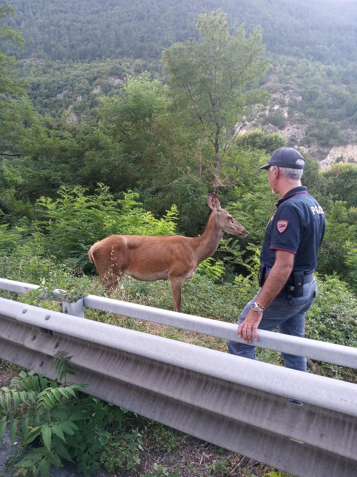 La Polizia salva un giovane cervo sulla statale s.s.17