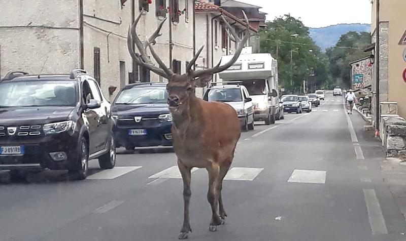 Un cervo passeggia nel centro del borgo