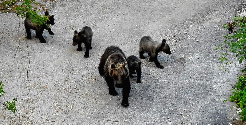 L'orsa Amarena e i suoi cuccioli a spasso sull'Autostrada dei Parchi. WWF: barriere insufficienti