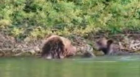 Mamma orsa e i 4 cuccioli fanno il bagno nel lago (video)