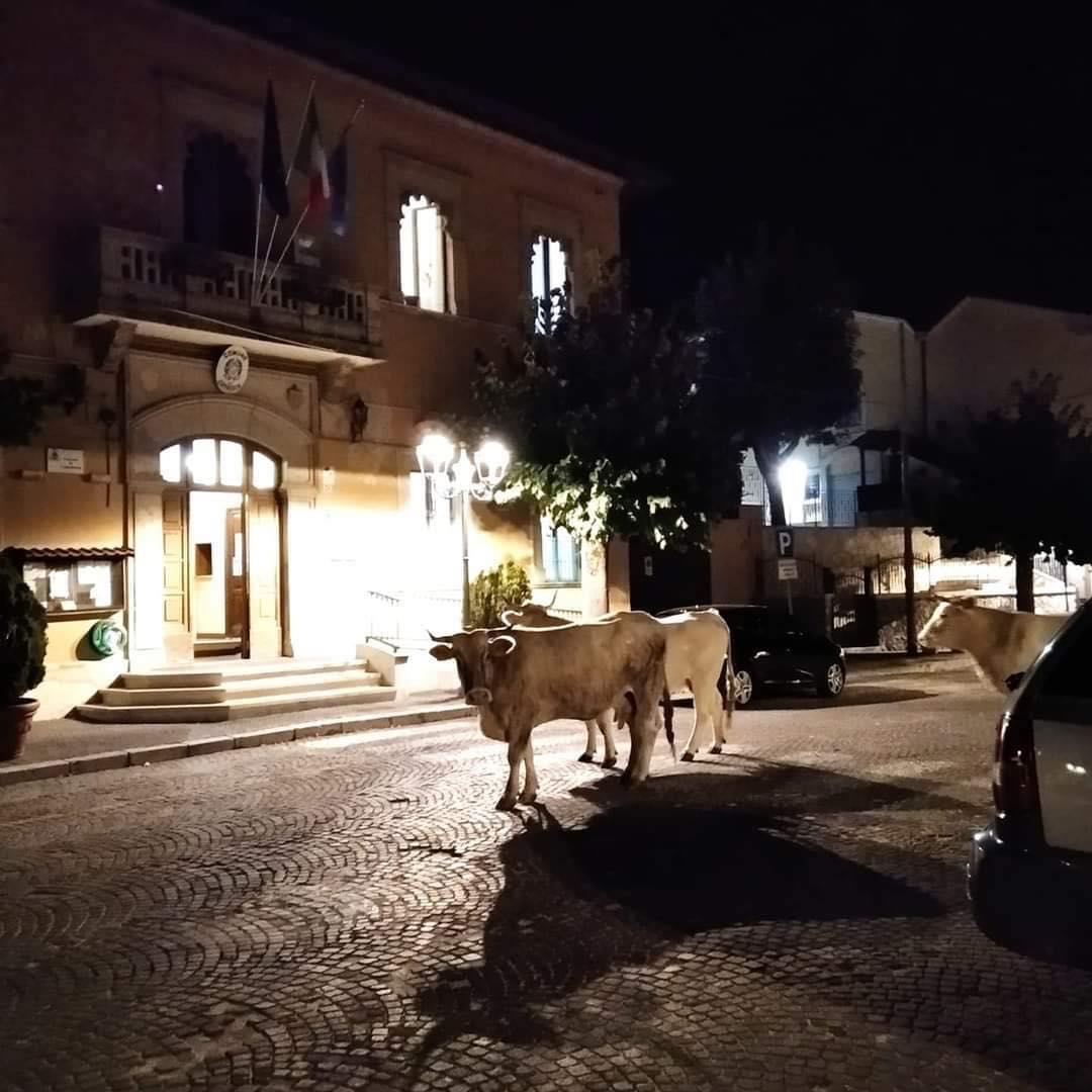 """Cappadocia, tre mucche a passeggio davanti l'edificio del Comune. """"L'abruzzese fuori sede"""" commenta scherzosamente la foto"""