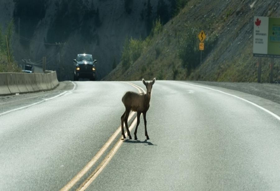 Ancora due investimenti di cervi in autostrada, la polizia raccomanda la massima attenzione