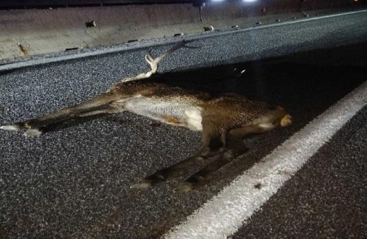 Pescina, cervo entra in autostrada e viene investito