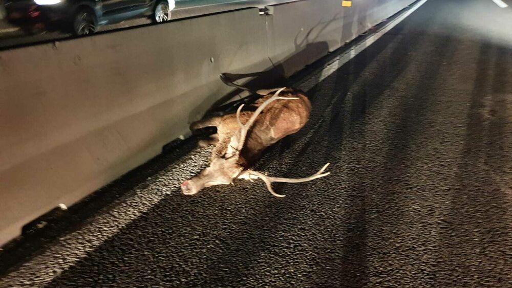 """Incidenti sull'autostrada A24 e A25 provocati dall'attraversamento della fauna selvatica, Salviamo l'Orso """"Chiediamo l'intervento urgente del Prefetto e della Regione"""""""