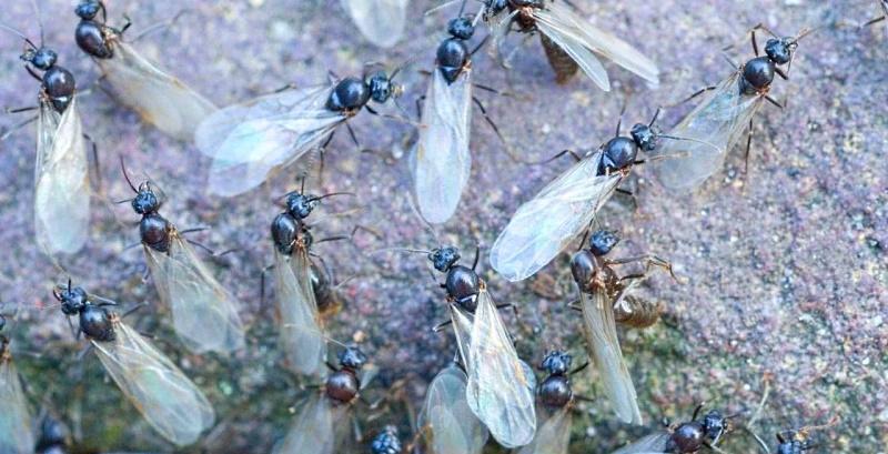 Invasione di formiche volanti ad Avezzano