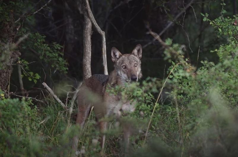 """""""Io sono ucciso ma mai distrutto. Io sono il lupo"""",ecco il video documentario girato nella riserva naturale grotte di Luppa"""