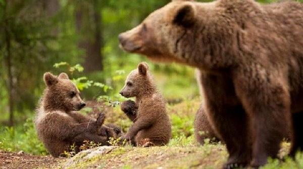 """Problema orsi, Ministro dell'Ambiente Costa: """"l'orso marsicano non può essere geneticamente contaminato"""""""