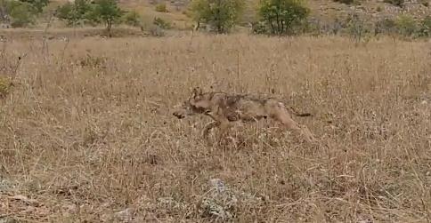Rilasciato un giovane lupo nella Riserva Naturale delle Gole del Sagittario