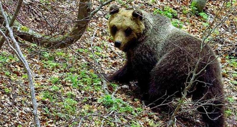 Parco Nazionale della Majella, catturare l'orsa Peppina per applicare un nuovo radiocollare GPS