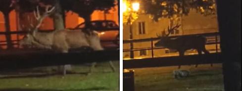 Un cervo passeggia nella notte nel parco giochi di Ortona dei Marsi