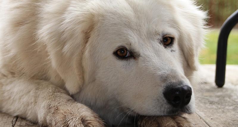 """Annullata la quinta edizione di """"Cuore Bianco"""", evento dedicato al pastore abruzzese"""