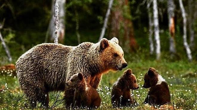 Indennizzo e prevenzione dei danni da orso. Stipulata convenzione tra PNALM e Regione Abruzzo