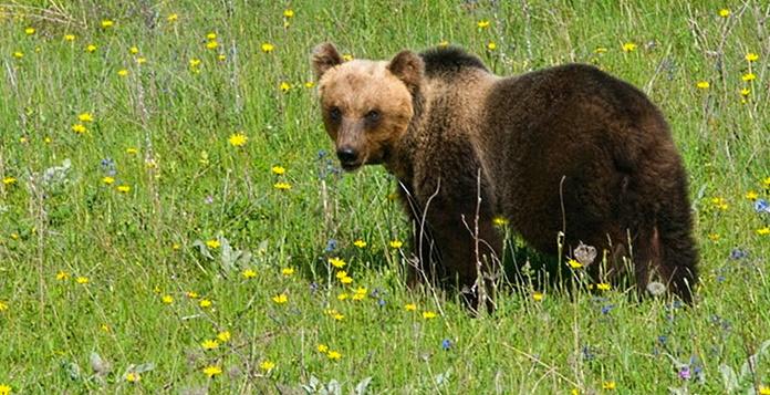 A Gioia dei Marsi reti elettrificate gratis per prevenire i danni provocati dall'orso marsicano