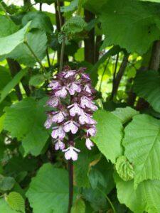 Le nostre montagne raccontano le orchidee spontanee del Parco Naturale Regionale Sirente-Velino