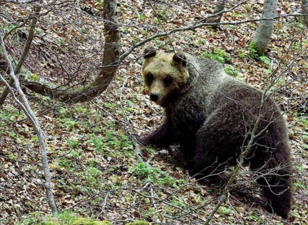 Parco Nazionale della Majella, la capacità che ha permesso la cattura dell'Orsa Peppina