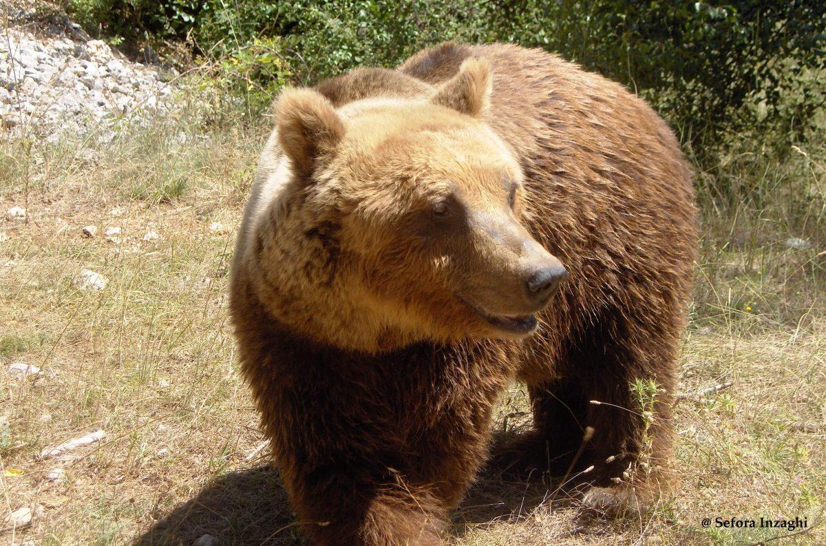Quando un orso entra in paese non va inseguito e non va filmato, spiega Igino Chiuchiarelli
