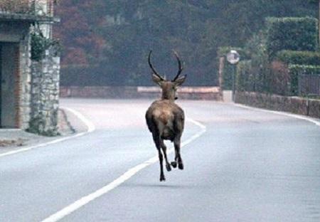 Cervi vaganti sulla strada tra Villavallelonga e Collelongo