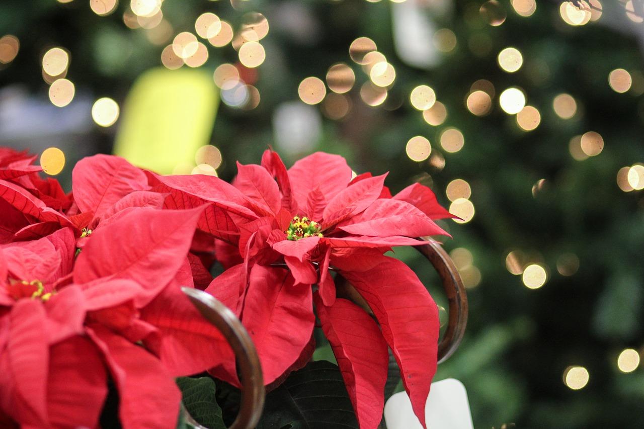 Stelle di Natale AIL, quest'anno la consegna sarà a domicilio. Ecco come donare