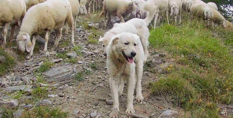 Cani pastore, pericolo randagismo e aggressioni. A Pereto il Sindaco impone regole severe