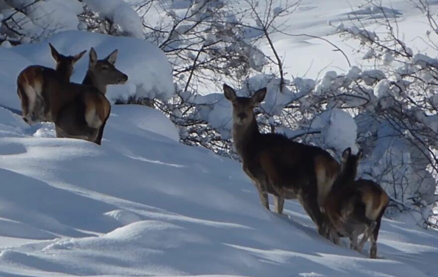 Cervi a passeggio nella neve nel Parco Naturale Regionale Sirente Velino