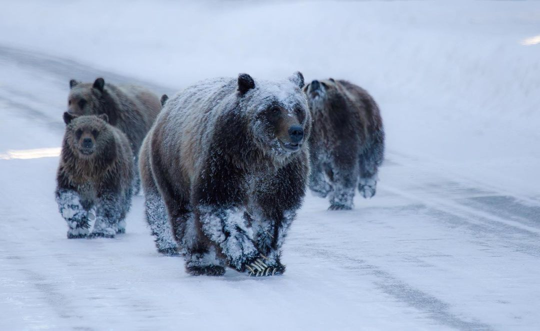 Spopola online il video di un'orsa e i suoi cuccioli tra la neve. PNALM: