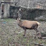 Liberato il cervo con le luminarie natalizie intrecciate nel palco
