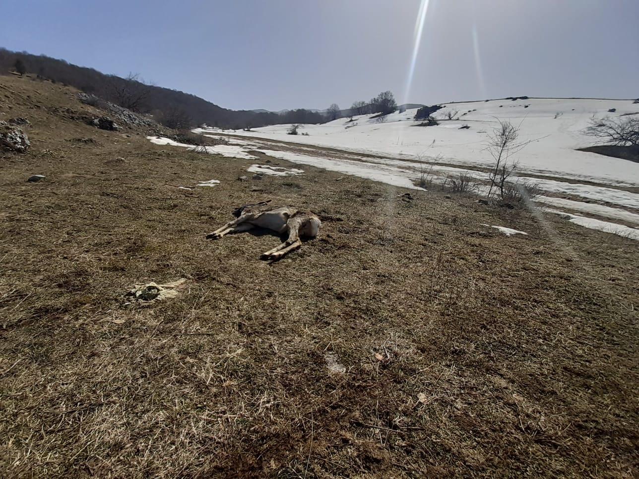 Pescasseroli, quattro ragazzi salvano un capriolo inseguito da un branco di lupi
