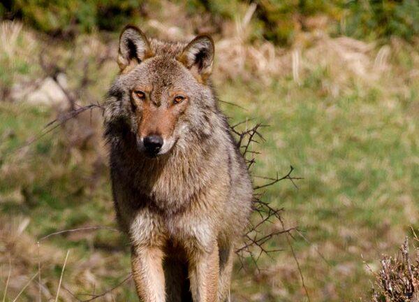 Il lupo non è stato ucciso da colpi di arma da fuoco
