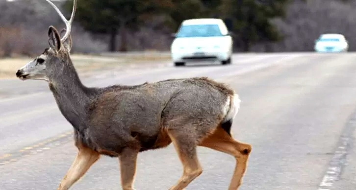 Incidenti stradali causati da fauna selvatica, ecco come richiedere il ristoro dei danni subiti