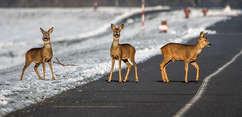 Incidenti causati da fauna selvatica, la Regione Abruzzo approva la nuova procedura operativa
