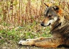 Parco Nazionale D'Abruzzo: escursione serale sulle tracce del lupo appenninico