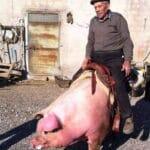 """Luigi Contestabile, detto """"i stort"""": il celanese che cavalca i maiali"""