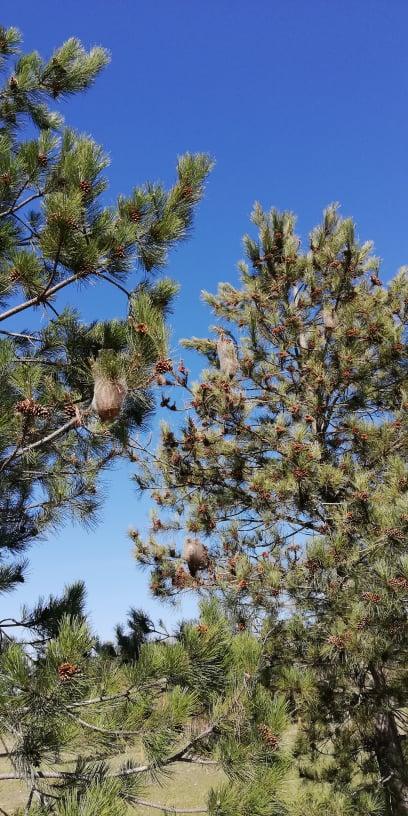 Segnalati molti nidi di processionaria in zona nord di Avezzano